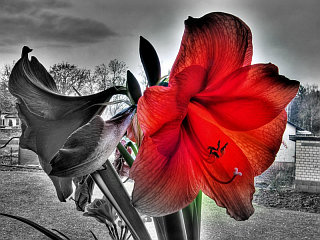 red amaryllis by arianta via flickr.com